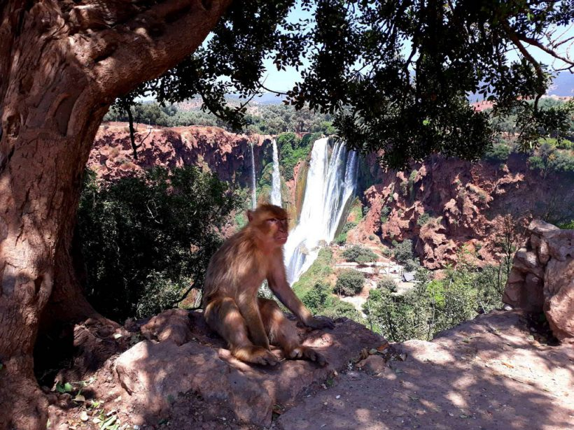 monkey (Copier)
